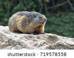 Alpine Marmot  Marmota Marmota...