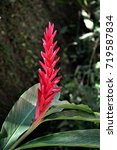 Small photo of The beautiful tropical flower Alpinia in the garden of the beach house