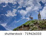 Alpine Ibex  Capra Ibex . In...