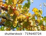 delicious ripe white grapes... | Shutterstock . vector #719640724