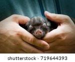 Cute Newborn Cub Of Mini Pig...