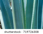 main ribs of agave.   Shutterstock . vector #719726308