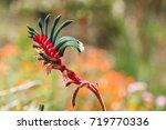 this kangaroo paw  anigozanthos ... | Shutterstock . vector #719770336