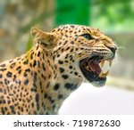 portrait of leopard prints... | Shutterstock . vector #719872630