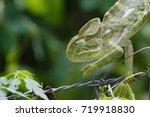 chameleon chamaeleonidae   | Shutterstock . vector #719918830