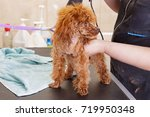 Chocolate Toy Poodle After...