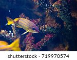 Small photo of Exotic tropical fish purple Yellowfin surgeonfish Acanthurus xanthopterus closeup