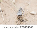 Small photo of Acmon Blue (Plebejus acmon) Butterfly Standing on Roots During Migration in Colorado