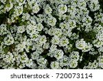 Small photo of White Alyssum flower
