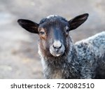 Portrait Of A Gray Lamb Of...