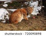 the eurasian lynx  lynx lynx ...   Shutterstock . vector #720090898