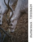 Small photo of Addax Antelope