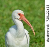 Small photo of Close up frontal image of a American White Ibis bird, (Eudocimus albus).