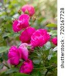 beautiful pink rose in blooming ... | Shutterstock . vector #720167728