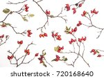 fruits of the rose stacked on... | Shutterstock . vector #720168640