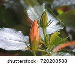 hibiscus bud | Shutterstock . vector #720208588