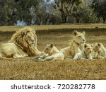 beautiful white lion family | Shutterstock . vector #720282778