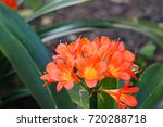 Small photo of Forest lily ( scientific name :Clivea ) flowering orange. Clivia are evergreen perennials with swollen bulb-like bases and originate from low-altitude woodlands in South Africa.