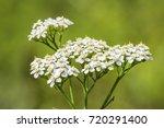 Medicinal Wild Herb Yarrow...