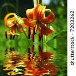Orange Lilly In Forest