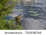 the duck drinks water from the...   Shutterstock . vector #720338764