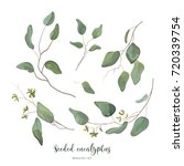 eucalyptus seeded silver green... | Shutterstock .eps vector #720339754