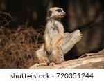 Chilling Meerkat