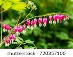 bleeding heart flower ... | Shutterstock . vector #720357100