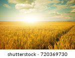 Wheat Field Summer Sunny Day...