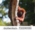 Small photo of Venezuelan red howler (Alouatta seniculus)