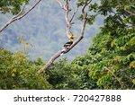 Great Hornbill  Buceros...