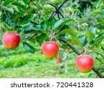 fresh red apple on tree  | Shutterstock . vector #720441328