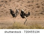 One Male And One Female Ostric...