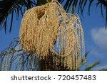 roystonea regia royal palm... | Shutterstock . vector #720457483