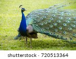 Beautiful Blue Peacock On The...
