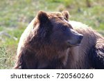 Grizzly Bear In The Sun. The...