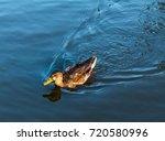 A Female Duck   Hen Swims...
