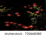 close up reddish magic lily... | Shutterstock . vector #720668380