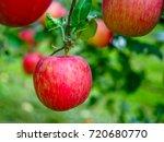 fresh red apple on tree  | Shutterstock . vector #720680770