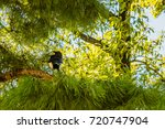 magpie perched on the branch of ...   Shutterstock . vector #720747904
