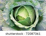 green cabbage's head with leafs | Shutterstock . vector #72087361