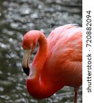 Small photo of American flamingo is bright pink in color and has a distinctive s shaped neck and white and black bill.
