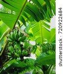 banana natural fruit in the... | Shutterstock . vector #720922684
