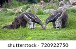 giant anteaters. latin name  ... | Shutterstock . vector #720922750