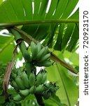 banana thai natural fruit | Shutterstock . vector #720923170
