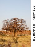 Small photo of Large African Boabab Tree in Mashatu, Botswana. (Adansonia digitata)