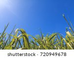cane leaves with blue sky... | Shutterstock . vector #720949678