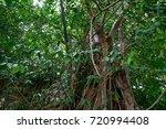 big tree in forest | Shutterstock . vector #720994408