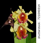 Small photo of Black dracula orchid and Cattleya