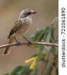 Small photo of Juvenile Woodchat Shrike (Lanius senator), perched in a tree, Morocco.